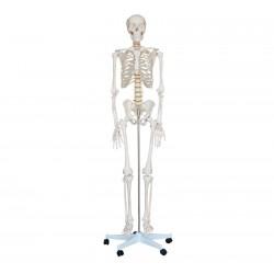 Maqueta, Esqueleto Humano de 1.80 mt.
