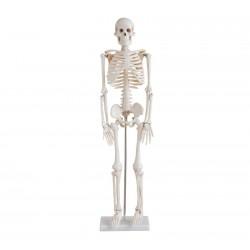 Maqueta, Esqueleto Humano de 85 cm.