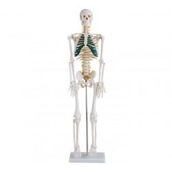 Maqueta, Esqueleto humano c/nervios de 85 cm.