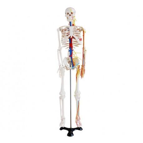 Maqueta, Esqueleto Humano c/nervios sanguineo de 85 cm.