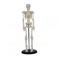 Maqueta, Esqueleto humano de 42 cm.