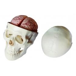 Maqueta, Craneo de 8 partes con cerebro