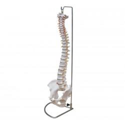 Maqueta, Columna vertebral flexible con pelvis