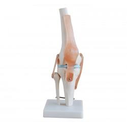 Maqueta, Articulacion de Rodilla tamaño natural