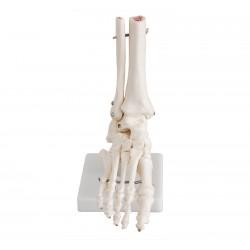 Maqueta, Articulacion de Pie tamaño natural (oseo - hueso)