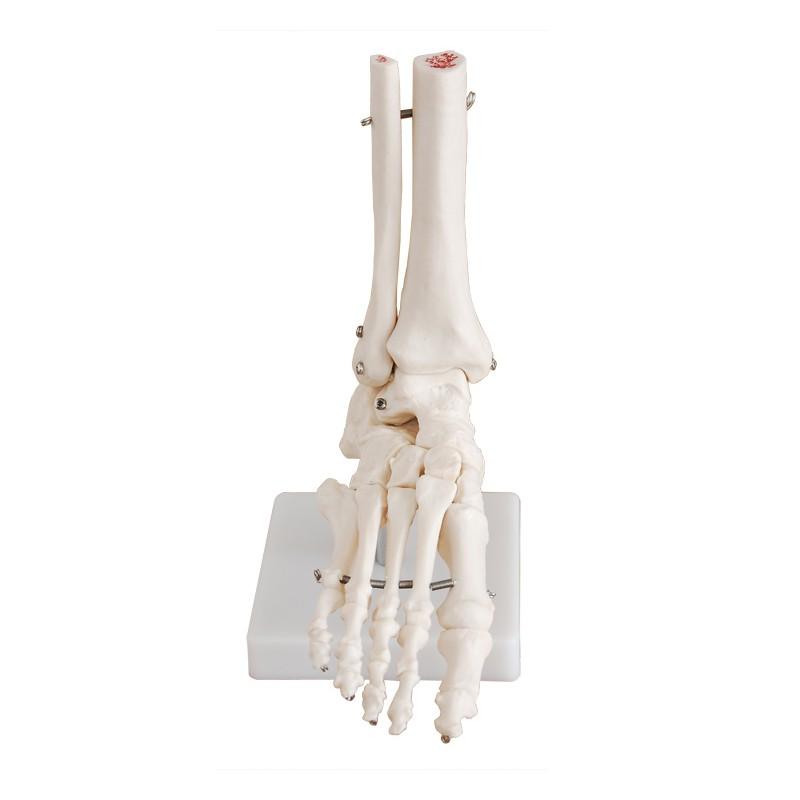 Maqueta, Articulacion de Pie tamaño natural (oseo - hueso) - LMD ...