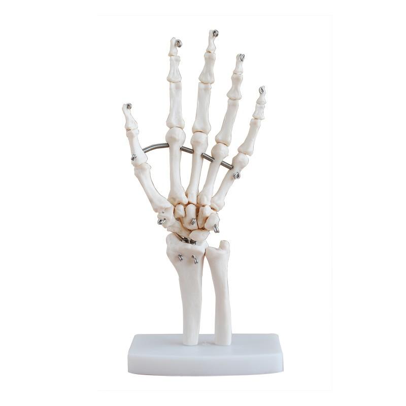 Maqueta, Articulacion de Mano tamaño natural (oseo - hueso) - LMD ...