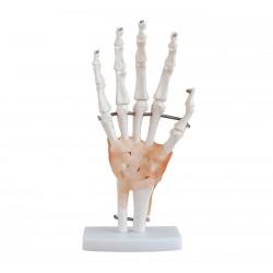 Maqueta, Articulacion de mano con Ligamentos tamaño natural