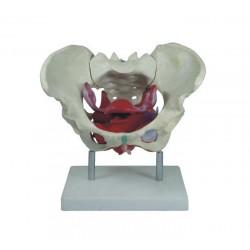 Maqueta, Pelvis femenino con musculos y organos