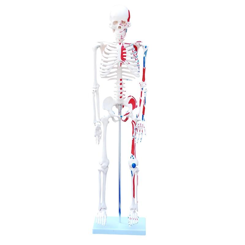 Maqueta, Esqueleto humano 85 cm con músculos pintados. - LMD MEDICAL SAC